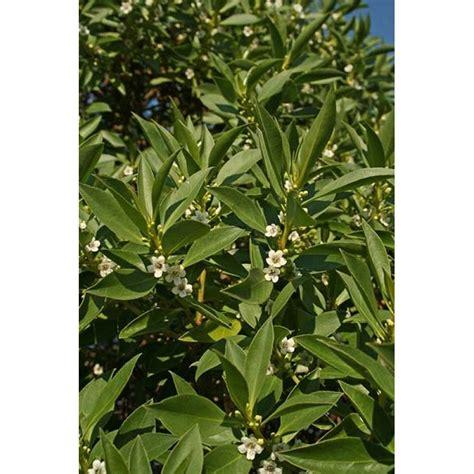 piante tappezzanti fiorite piante tappezzanti sempreverdi