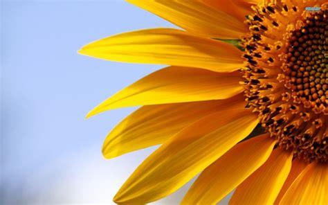 significato fiore girasole girasole linguaggio dei fiori girasole linguaggio