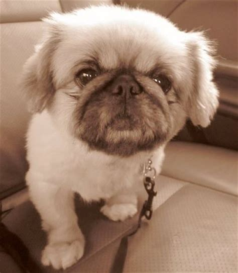 pug pekingese puginese pekingese x pug mix breed info temperament puppies pictures