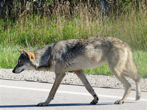 what is a wolf great lakes boreal wolf