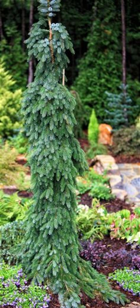 1000 images about conifer inspirations on pinterest cedrus deodara blue spruce and evergreen