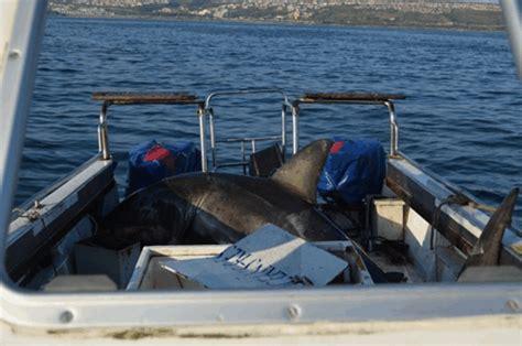 squalo volante se lo squalo bianco salta sulla barca il navigatore curioso