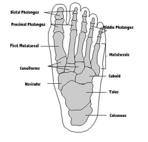 foot side of foot diagram the foot structure footmech podiatry