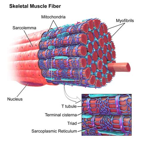 striated cell diagram ultrastructure of skeletal sliding filament