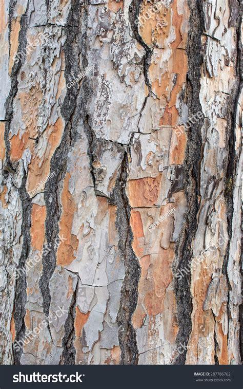bark of a pine tree bark background stock photo