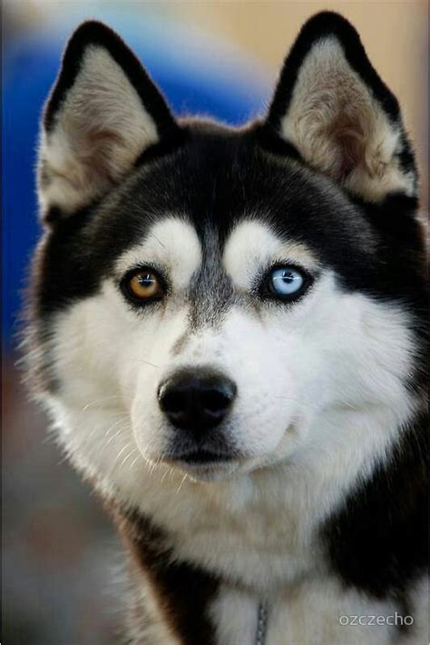 husky with different colored husky with two different colored huskies