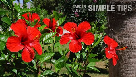 flowering tropical shrubs prune to boost tropical shrubs and hedges garden club