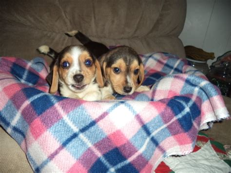 puppies for sale in fresno ca view ad beagle puppy for sale california fresno