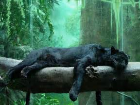panther colors panther black leopard animals wiki pictures