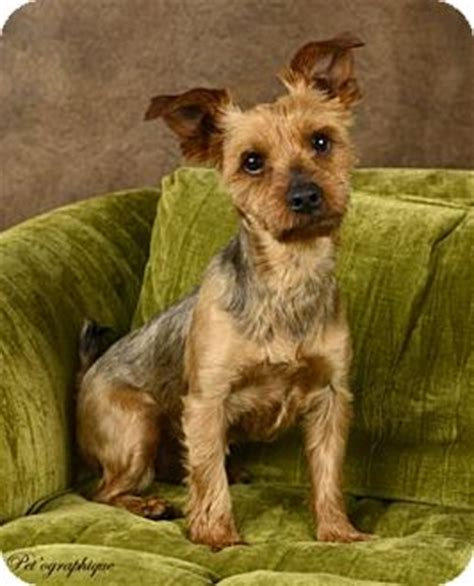 silky yorkie mix toby adopted toby2013 las vegas nv silky terrier yorkie