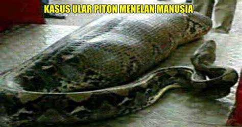 video film ular makan manusia ngeri ini dia 3 kasus ular piton memangsa manusia