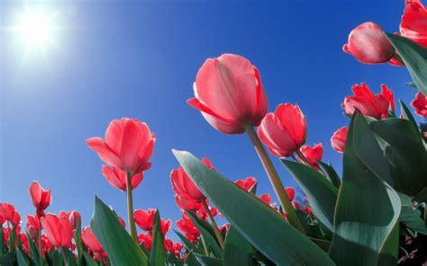 imagenes tulipanes rosas fonditos tulipanes al sol flores tulipanes plantas