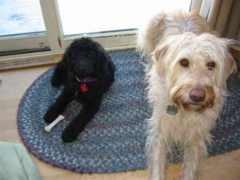 goldendoodle bloomington indiana labradoodle for sale ocala labradoodle black and white