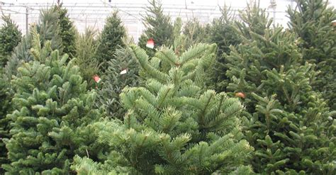 best prices on fresh cut trees top 28 trees local buy local trees support local growers the minnesota