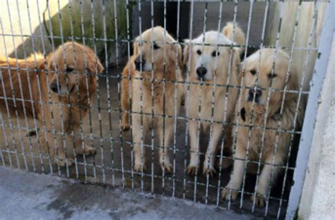 largest golden retriever istanbul stray flew 5 000 in largest international golden retriever rescue