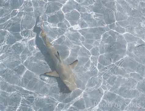 baby shark full ringtone la p 234 che aux requins officiellement interdite aux maldives