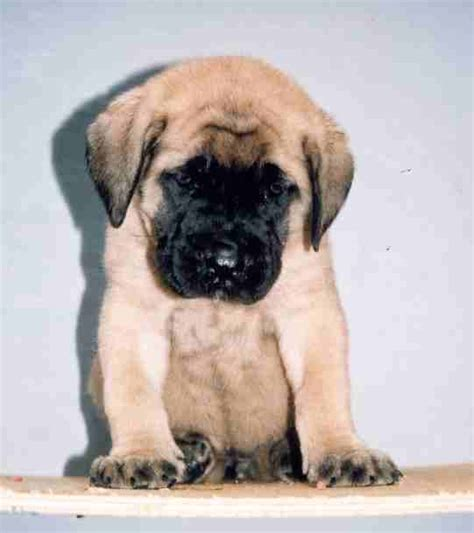 mastiff puppies mastiff puppy care and