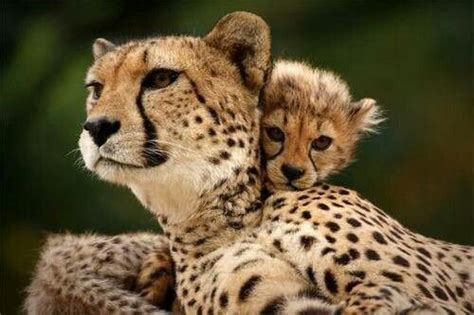 Cheetah mommy and baby   Big Cats   Pinterest