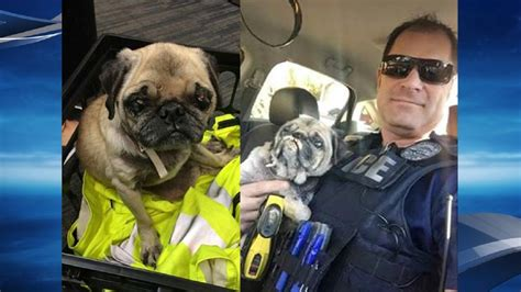 lost pug lost nearly blind pug found wandering in streets of ne vancouver katu