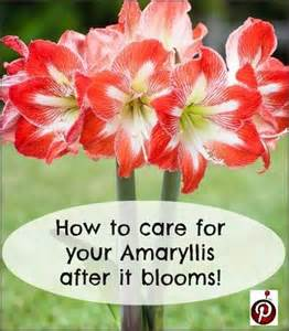 amaryllis after it blooms this is my variety advice from n j indoor plants pinterest