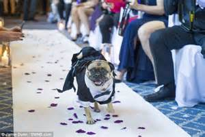 pug ring bearer loving and groom enlist their pug as ring bearer daily mail