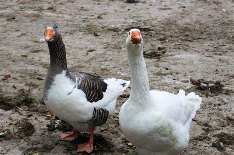 tiere beim decken martinstag gans oder gar nicht christen f 252 r tiere