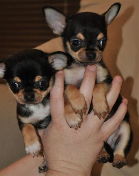 chihuahua puppies for sale indiana teacup chihuahua puppies for sale in south africa clasf animals