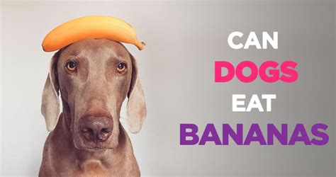 are bananas ok for dogs best 28 can dogs eat bananas health can dogs eat bananas access 2 knowledge can