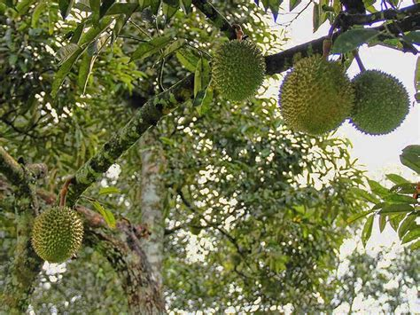 Pot Bonsai 25cm Wrn Hitam cara menanam durian agar cepat berbuah berikut panduan