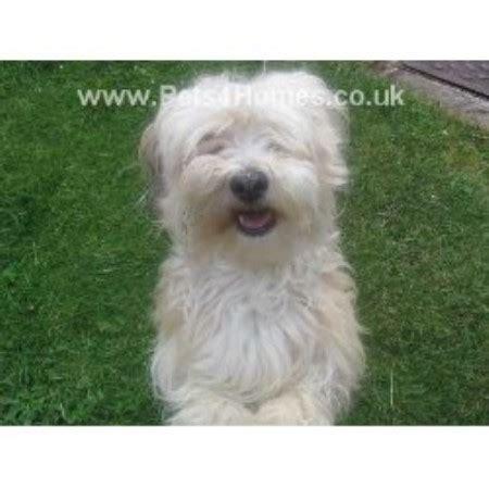 havanese puppies scotland havanese studs in scotland wales and ireland freedoglistings uk