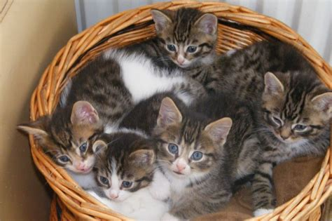 cats for sale beautiful bengal cross kittens horley surrey pets4homes