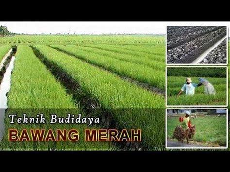 kesaksian penggunaan nasa  tanaman bawang merah kab