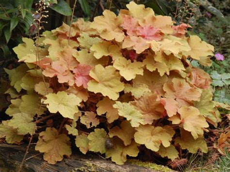 heuchera creme brulee 3578 heuchera creme brulee summer 39 s not yet part 3 but