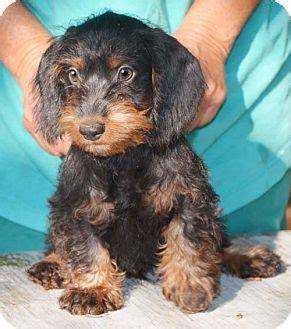 dachshund puppies va carson adopted puppy kn staunton va dachshund poodle miniature mix