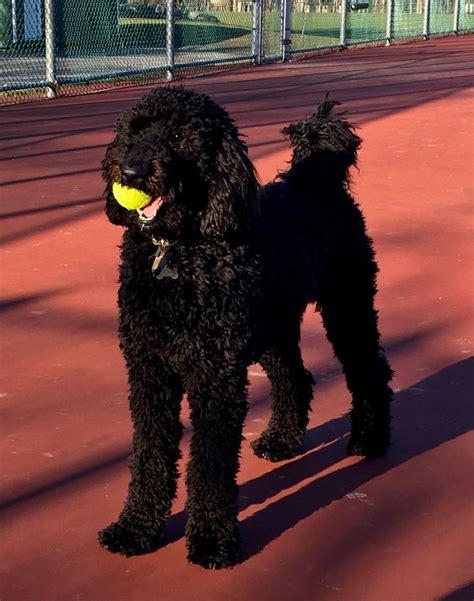 parti poodle lifespan best 25 standard poodles ideas on poodles