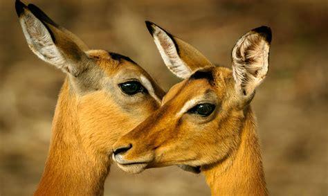 dosciervos africa animal antelope  coencuentros