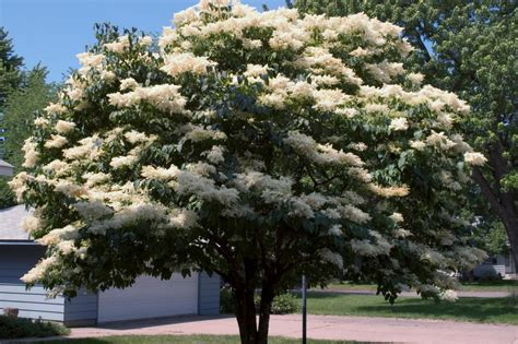 lilac tree image gallery lilac tree care