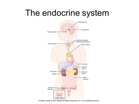 The Endocrine System Ppt Download Endocrine System Powerpoint