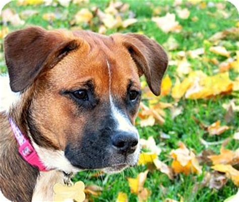 boxer puppies indianapolis adopted puppy indianapolis in boxer australian cattle mix