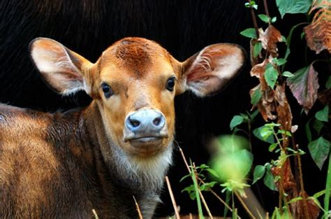 gaur calves   gaur  baby animal zoo