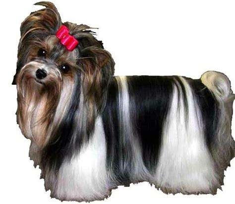 piebald yorkie 17 best images about biewer terriers on yorkie sweet and