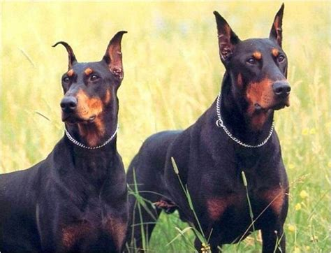 libro the guard dog lista de nombres para perros doberman macho y hembra super 4 patas