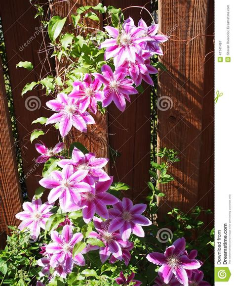 flowering clematis vine stock photo image 41141497