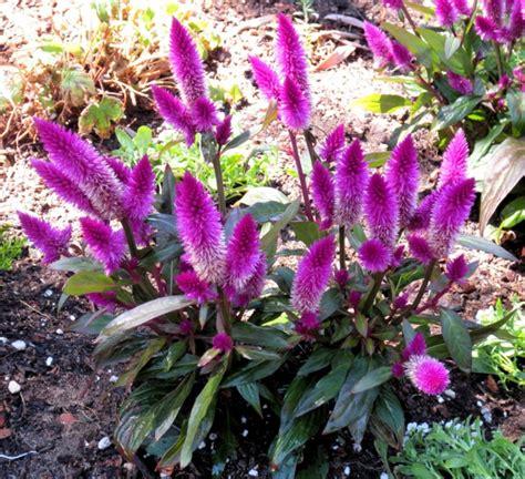 ausgefallene pflanzen garten sommerblumen helfen ihnen einen garten voller farben zu