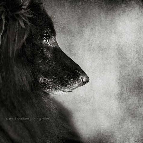 imagenes lobo negro la sombra del lobo www doogweb es