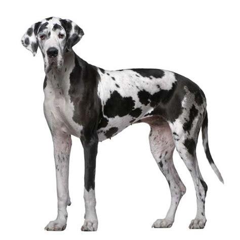 alimentazione alano cucciolo varianti della razza alano o danese