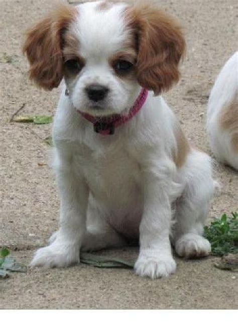 cavalier spaniel puppies cavalier king charles spaniel puppies puppies breed information image pictures