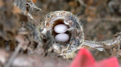 do hummingbirds reuse nests bay nature