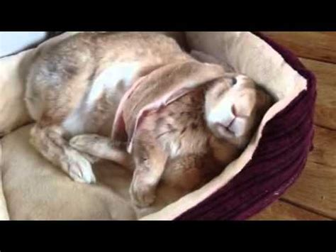 rabbit beds edward the rabbit in his dog bed youtube