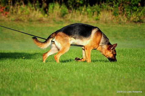 how to tracking dogs what i learned from schutzhund thedogtrainingsecret